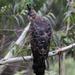 Águila Azor de Ceilán - Photo (c) Ingeborg van Leeuwen, todos los derechos reservados, uploaded by wildchroma