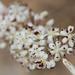 Asparagus albus - Photo (c) Ingeborg van Leeuwen, all rights reserved, uploaded by wildchroma