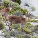 Capra pyrenaica hispanica - Photo (c) Ingeborg van Leeuwen, todos los derechos reservados, uploaded by wildchroma
