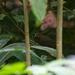 Cyanoloxia rothschildii - Photo (c) Jarol Fernando Vaca, todos los derechos reservados