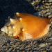 Florida Fighting Conch - Photo (c) Jay L. Keller, all rights reserved