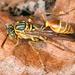Mischocyttarus angulatus - Photo (c) gernotkunz, todos los derechos reservados
