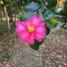 Sasanqua Camellia - Photo (c) jmda, all rights reserved