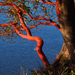 Arbutus menziesii - Photo (c) Wendy Feltham, כל הזכויות שמורות