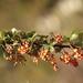 Berberis goudotii - Photo (c) GERMAN LEONEL SARMIENTO CRUZ, algunos derechos reservados (CC BY-NC-SA)
