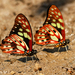 Graphium cyrnus - Photo (c) Ingeborg van Leeuwen, todos los derechos reservados, uploaded by wildchroma