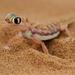 Pachydactylus rangei - Photo (c) Ingeborg van Leeuwen, todos los derechos reservados, uploaded by wildchroma