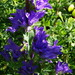 Campanula glomerata speciosa - Photo (c) snv2, כל הזכויות שמורות