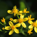 Creeping Groundsel - Photo (c) mjcorreia, all rights reserved