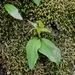 Chiloglottis cornuta - Photo (c) David Lyttle, todos los derechos reservados
