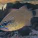 Bullseye Cardinalfish - Photo (c) Shigeru Harazaki, all rights reserved