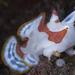 Antennarius maculatus - Photo (c) Shigeru Harazaki, todos los derechos reservados