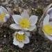 Pulsatilla vernalis - Photo (c) csj82, όλα τα δικαιώματα διατηρούνται