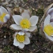 Spring Pasqueflower - Photo (c) chrisjohn82, all rights reserved