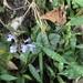 Scutellaria playfairii - Photo (c) Brian Cheng, todos los derechos reservados
