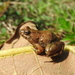 Bubbling Puddle Frog - Photo (c) donchelu, all rights reserved