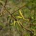 Prosopis glandulosa torreyana - Photo (c) Chris McCreedy, todos los derechos reservados