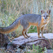 Gray Fox - Photo (c) Brad Moon, all rights reserved