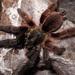 Tarántula Arborícola - Photo (c) arachnida, todos los derechos reservados