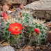 Scarlet Hedgehog Cactus - Photo (c) Brad Moon, all rights reserved