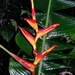Heliconia spathocircinata - Photo (c) Marcos Silveira, all rights reserved