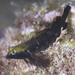 Enneapterygius philippinus - Photo (c) Shigeru Harazaki, todos los derechos reservados