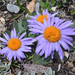 Asters - Photo (c) Harry Jans, all rights reserved