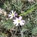 Onoseris hyssopifolia - Photo (c) Julieta Granados, כל הזכויות שמורות