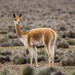 Vicuña - Photo (c) Craig Evans, all rights reserved