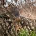 Accipiter cooperii - Photo (c) skylerewing, כל הזכויות שמורות