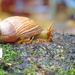 Common Land Snails and Slugs - Photo (c) Claudio Alejandro Maureira Rosales, all rights reserved