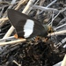 Coeliades forestan forestan - Photo (c) dougbell, כל הזכויות שמורות
