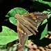 Gold-spotted Aguna - Photo (c) Maristela Zamoner, all rights reserved