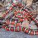 Arizona Mountain Kingsnake - Photo (c) Brad Moon, all rights reserved
