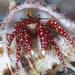 Argus Hermit Crab - Photo (c) Shigeru Harazaki, all rights reserved