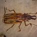 Macrodontia cervicornis - Photo (c) Carlos S. Rodrigues, todos los derechos reservados