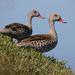 Pato de El Cabo - Photo (c) Ingeborg van Leeuwen, todos los derechos reservados, uploaded by wildchroma