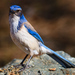 California Scrub-Jay - Photo (c) Brad Moon, all rights reserved