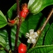 Maieta guianensis - Photo (c) Marcos Silveira, todos los derechos reservados