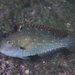 Spinytooth Parrotfish - Photo (c) Shigeru Harazaki, all rights reserved