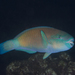 Pacific Bullethead Parrotfish - Photo (c) Shigeru Harazaki, all rights reserved