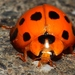 Greater Asian Lady Beetle - Photo (c) aero bird, all rights reserved