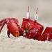 Thoracotrematan Crabs - Photo (c) Aniruddha Singhamahapatra, all rights reserved