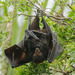 Black Flying Fox - Photo (c) Rolf Lawrenz, all rights reserved