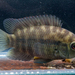 Chameleon Cichlid - Photo (c) Mariano Ordoñez, all rights reserved