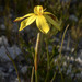 Bobartia filiformis - Photo (c) Chris Whitehouse, all rights reserved