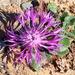 Centaurea - Photo (c) Valter Jacinto, todos los derechos reservados