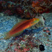 Yellow-filament Goby - Photo (c) Shigeru Harazaki, all rights reserved