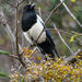 Black-rumped Magpie - Photo (c) Marc Faucher, all rights reserved