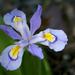 Iris cristata - Photo (c) Eric Hunt, todos los derechos reservados